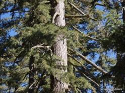 Sequoia National Park. Sugar pine (Pinus lambertiana) (3)