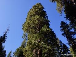 Sequoia National Park. Sugar pine (Pinus lambertiana) (4)