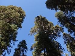 Sequoia National Park. Sugar pine (Pinus lambertiana) (5)