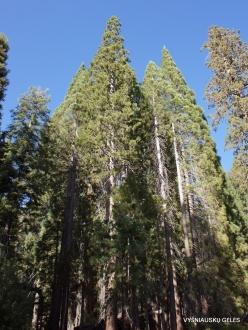 Sequoia National Park. Sugar pine (Pinus lambertiana) (6)