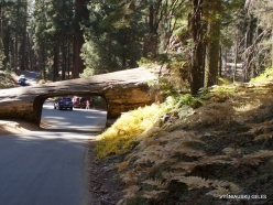 Sequoia National Park. Tunnel Log (2)