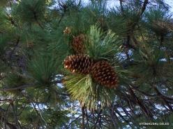 Yosemite National Park. Glacier Point. . Ponderosa pine (Pinus ponderosa) (3)