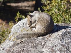 Yosemite National Park. Glacier Point. California ground squirrel (Otospermophilus beecheyi) (2)