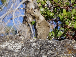 Yosemite National Park. Glacier Point. California ground squirrel (Otospermophilus beecheyi) (3)