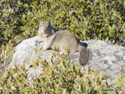 Yosemite National Park. Glacier Point. California ground squirrel (Otospermophilus beecheyi) (4)