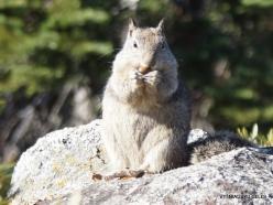 Yosemite National Park. Glacier Point. California ground squirrel (Otospermophilus beecheyi) (6)