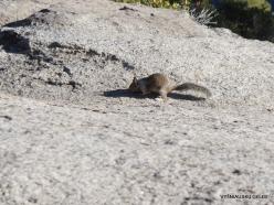 Yosemite National Park. Glacier Point. California ground squirrel (Otospermophilus beecheyi)