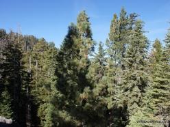 Yosemite National Park. Glacier Point. Ponderosa pine (Pinus ponderosa) (2)