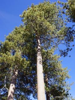 Yosemite National Park. Glacier Point. Ponderosa pine (Pinus ponderosa) (4)
