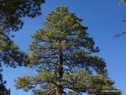 Yosemite National Park. Glacier Point. Ponderosa pine (Pinus ponderosa)