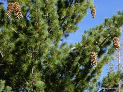 Yosemite National Park. Glacier Point. Sugar pine (Pinus lambertiana) (2)