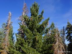 Yosemite National Park. Glacier Point. Sugar pine (Pinus lambertiana)