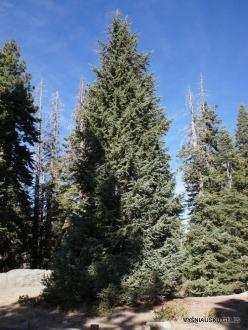 Yosemite National Park. Glacier Point. White fir (Abies concolor) (2)
