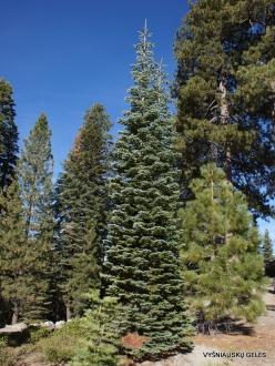 Yosemite National Park. Glacier Point. White fir (Abies concolor)
