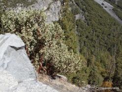 Yosemite National Park. Greenleaf Manzanita (Arctostaphylos patula) (2)