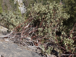 Yosemite National Park. Greenleaf Manzanita (Arctostaphylos patula) (3)