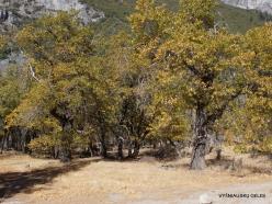 Yosemite National Park. Yosemite Valley. California black oak (Quercus kelloggii) (2)
