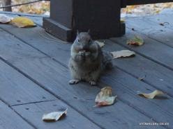 Yosemite National Park. Yosemite Valley. California ground squirrel (Otospermophilus beecheyi) (2)