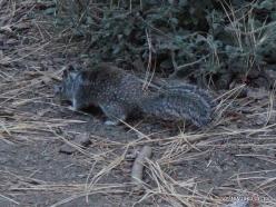 Yosemite National Park. Yosemite Valley. California ground squirrel (Otospermophilus beecheyi) (3)