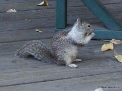 Yosemite National Park. Yosemite Valley. California ground squirrel (Otospermophilus beecheyi)