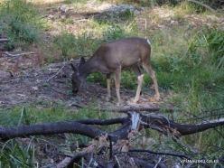 Yosemite National Park. Yosemite Valley. Female of Mule deer (Odocoileus hemionus)