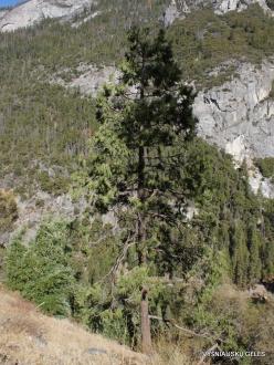 Yosemite National Park. Yosemite Valley. Incense cedar (Calocedrus decurrens)