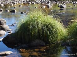 Yosemite National Park. Yosemite Valley. Merced river. Sedge (Carex sp.) (4)