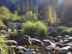 Yosemite National Park. Yosemite Valley. Merced river. Sedge (Carex sp.) (6)