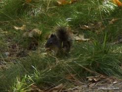 Yosemite National Park. Yosemite Valley. Native Douglas squirrel (Tamiasciurus douglasii)