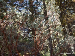 Yosemite National Park. Yosemite Valley. Pacific Madrone (Arbutus menziesii)