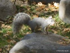 Yosemite National Park. Yosemite Valley. Western gray squirrel (Sciurus griseus)