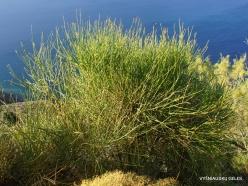 Ierapetra. Weaver's Broom (Spartium junceum ginesta)