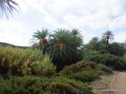 Itanos Beach. Cretan Date Palm (Phoenix theophrasti) (2)