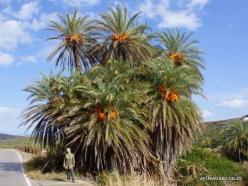 Itanos Beach. Cretan Date Palm (Phoenix theophrasti) (4)