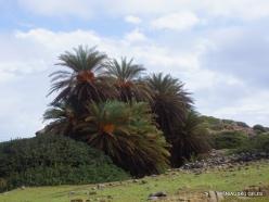 Itanos Beach. Cretan Date Palm (Phoenix theophrasti) (5)