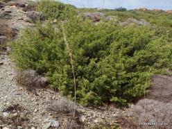 Itanos Beach. Phoenicean Juniper (Juniperus phoenicea)