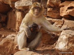 Neapoli. Amazonas Park. Barbary macaque (Macaca sylvanus) (5)