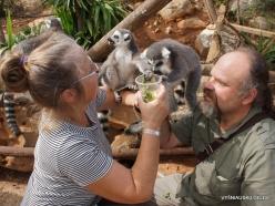 Neapoli. Amazonas Park. Ring-tailed lemur (Lemur catta) (2)