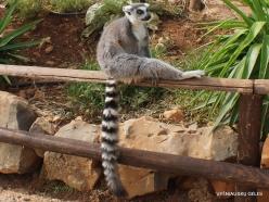 Neapoli. Amazonas Park. Ring-tailed lemur (Lemur catta) (3)