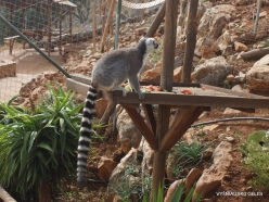Neapoli. Amazonas Park. Ring-tailed lemur (Lemur catta) (6)