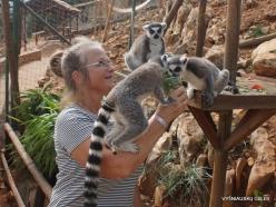 Neapoli. Amazonas Park. Ring-tailed lemur (Lemur catta)