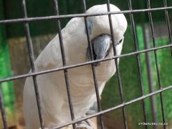 Neapoli. Amazonas Park. White cockatoo (Cacatua alba)