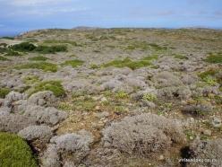 Toplou. Thymes (Thymus capitatus syn. Coridothymus capitatus) (2)