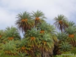Vai Beach. Cretan Date Palm (Phoenix theophrasti) (11)