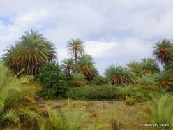 Vai Beach. Cretan Date Palm (Phoenix theophrasti) (12)