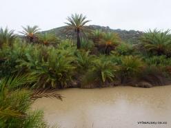 Vai Beach. Cretan Date Palm (Phoenix theophrasti) (15)