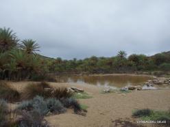 Vai Beach. Cretan Date Palm (Phoenix theophrasti) (16)