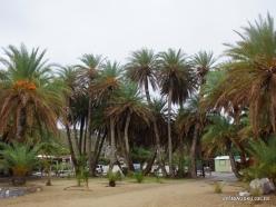 Vai Beach. Cretan Date Palm (Phoenix theophrasti) (2)