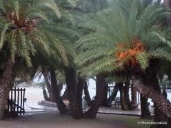 Vai Beach. Cretan Date Palm (Phoenix theophrasti) (5)