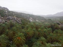 Vai Beach. Cretan Date Palm (Phoenix theophrasti) (6)